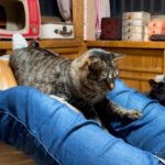 ゲームしながらリアルにハーレム状態のパパ Cute cat playing with a string