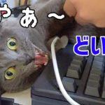 パパのゲームの邪魔をして怒られる猫